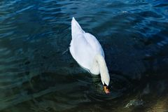 White Swan dives his head into the water pond park.  Royalty Free Stock Images