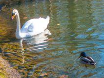 White Swan and drake on a reservoir. Quiet provincial municipal park Royalty Free Stock Image
