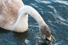 Free White Swan Drinking Eating Under Water Dunking Head Royalty Free Stock Images - 162254559