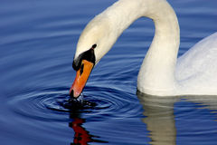 White Swan Drinking Water. Closeup of Beautiful White Swan Drinking in Deep Blue Water Stock Photography