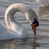 White swan drinking water on a lake Royalty Free Stock Photo