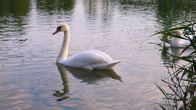 White Swan drinking water from the lake. Summer lake reeds. White swans and ducks swim on the lake. Dolly, locked down, without sound. Close-up. Evening view stock video footage
