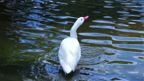White swan drinking water from a pond stock video