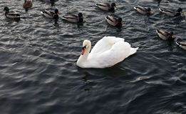White Swan and duck. S swim in dark water of the pond Stock Photo