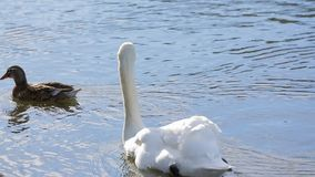 White Swan And Duck Floating In Pond. Tranquil scene of one white swan and one female wild duck peacefully floating in clear blue water of the lake stock video