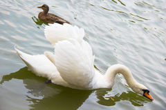 White swan and a duck swimming in the lake. White lonely swan and a duck swimming in the lake Royalty Free Stock Image