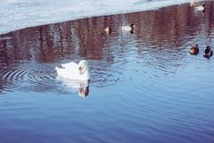 A white swan with ducks mallards swimming in the winter. Circles on water Stock Photography