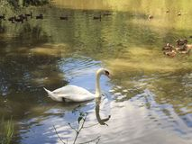 White swan and ducks in pond. White swan swimming in the pond on romantic morning Stock Image