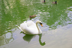 White Swan and ducks swimming in lake. White Swan and ducks swimming in the lake Royalty Free Stock Image