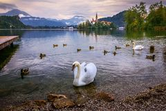 White swan and ducks swimming in Lake Bled on a rainy day. White swan and ducks swimming in Lake Bled on a rainy autumn day Stock Photos