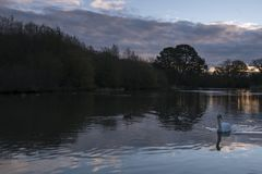 A white swan in the early morning on the Ornamental Pond, Southampton Common royalty free stock photo