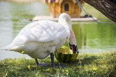 White swan eat the watermelon Stock Image
