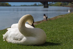 White swan eating and relaxing on the green grass of the riverbank. Near the water Stock Photo