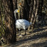 White swan on the edge of the pond hiding among the trees stock image