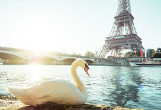 White swan and Eiffel tower, Paris Royalty Free Stock Photo
