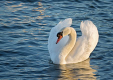 White swan. Royalty Free Stock Images