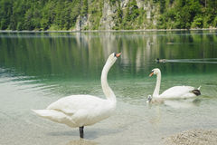 White swan  family with beautiful lake scenery . Stock Images