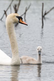 White Swan Family With Chicks. Stock Images