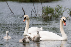 White Swan Family With Chicks. Stock Photography