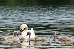 White Swan Family With Chicks. Royalty Free Stock Images