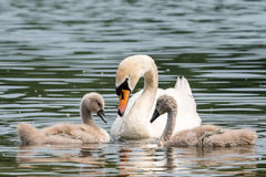 White Swan Family With Chicks. Royalty Free Stock Photography