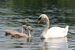 White Swan Family With Chicks. Royalty Free Stock Photo