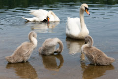 White Swan Family With Chicks. Royalty Free Stock Image