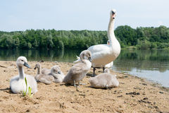 White Swan Family With Chicks. Stock Photos