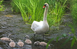 White swan family Stock Photography