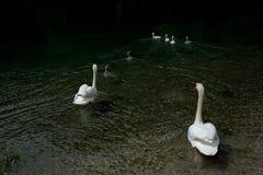 A white swan family Stock Photos