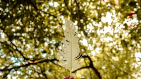 White swan feather and blurred tree background stock photos