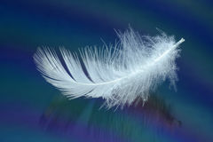 White swan feather Stock Photography