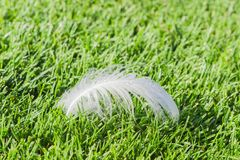 Swan feather on the grass on a lawn Royalty Free Stock Photo