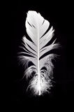 White swan feather isolated. Over black background Royalty Free Stock Photos