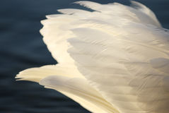 White swan feathers Stock Image
