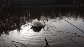 White Swan. Feeding on the lake Stock Image