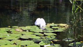 White swan feeds among the water lilies Stock Photo