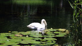 White swan feeds among the water lilies Stock Image