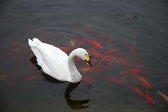 White Swan with fish. A white swan floating on water Royalty Free Stock Photography