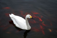 White Swan with fish. A white swan floating on water Stock Photo
