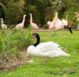White swan and flamingos Royalty Free Stock Photo