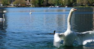 White swan flapping wings on lake