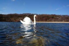 White swan float proudly Royalty Free Stock Photos