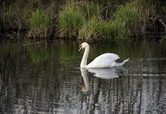 White swan is float on water. Beautiful white swan swimming in the water Stock Photos