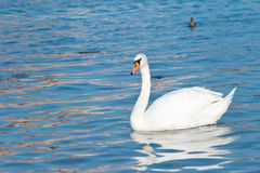 White swan is floating Stock Photos