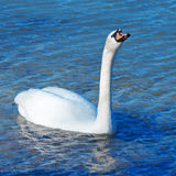 White swan is floating Stock Image