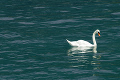 White swan floating on the blue surface of a lake Stock Photos