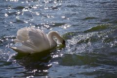 A white swan floating on the blue water reflecting the sunlight glare. A beautiful white swan floating on the blue water reflecting the sunlight glare Stock Photography