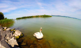 White swan floating on a clean  water. Apply a fisheye lens Stock Image
