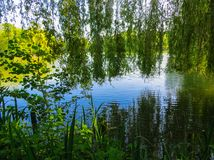 Willow branches bent over the green water of the lake royalty free stock photography